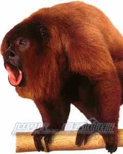 巴西旅游-吼猴